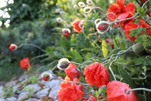 Red Poppies And Buds In Sunshi...