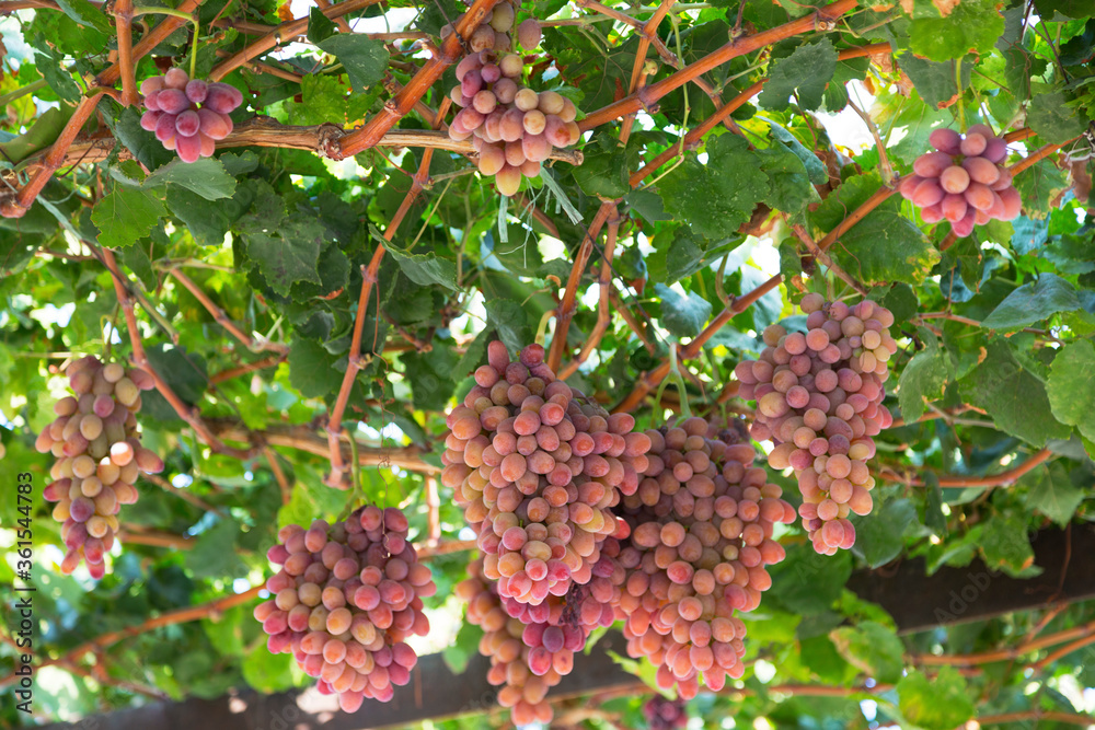 Autumn harvest of red grapes close up