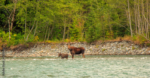 Tablou Canvas Mother Moose and her calf trying to cross a fast flowing glacial blue river in British Columbia, Canada
