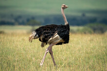 Male Common Ostrich Walks On Bleached Grass