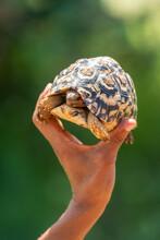 Man Holds Up Leopard Tortoise In Sunshine