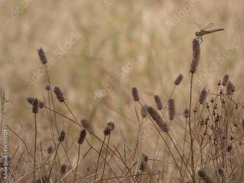 Obraz na plátně Libellule dans les herbes