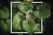 Leinwandbild Motiv Close up tropical nature green leaf caladium with white frame abstract background.