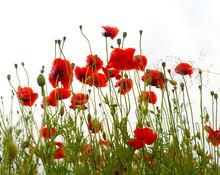 Wildflowers Poppies Flowers  After Rain