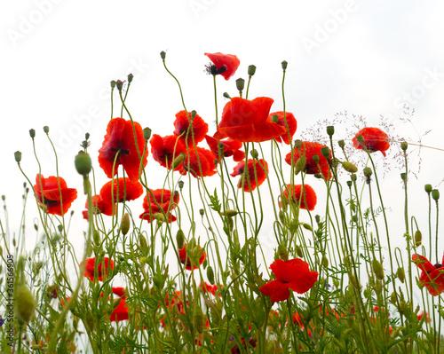 Obraz na płótnie Wildflowers poppies flowers  after rain