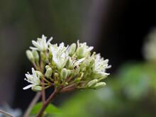 Flower Of Murraya Koenigii Or Curry Tree .