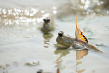 The Close Up Of Mudskipper (on...