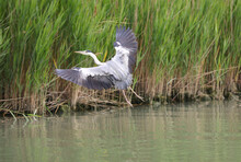 Bird Called Grey Heron Or Ardea Cinerea