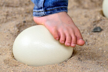 Ostrich Egg Is Strong Enough To Step Up With Feet On Its, No Breakable Ostrich Egg, Nice Foot, Feet With Nail And Details