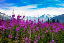 Lost In Fireweed