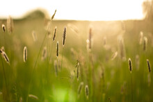 Closeup Of A Backlit Grass In ...