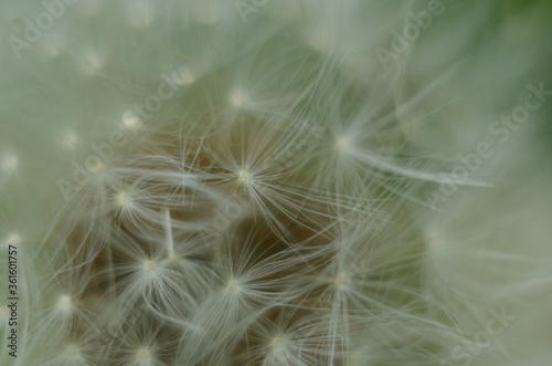 Fototapeta Dandelion Details. Drops of dew on a dandelion. Drops. Macro photo. Raindrops. Ripe dandelion seeds. Drops on white air umbrellas. Dandelion seeds are scattered. Reflection drop obraz na płótnie