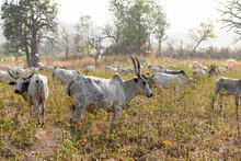 A Herd Of Zebus Graze Grass In Northern Benin.