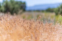 Tall Grass In The Dry Arizona Breeze