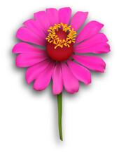 A Magenta Zinnia Flower With S...