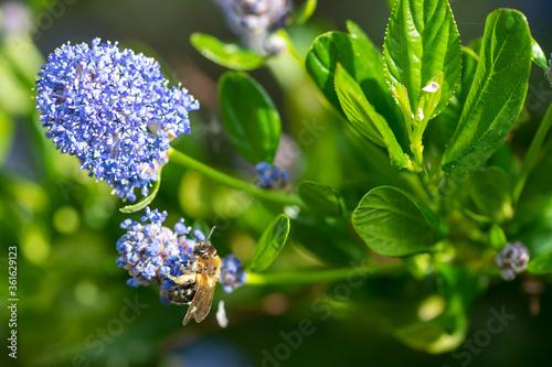 Obraz na plátně Bee collecting pollen from a garden Californian Lilac bush, ceanothus thyrsiflor
