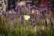 Lawendowy Motyl
