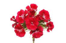 Sweet William Flowers Closeup