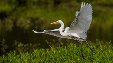 Great Egret Flying And Landing...