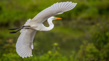 Great Egret Flying And Landing On The Lake