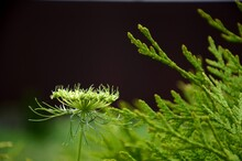 Small Carrot Plant Bloom On Dark Background. Macro Natural Blooming Carrot Growing On Kitchen Garden