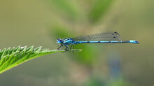 Common Blue Damselfly On Nettle Leaf  Isolated With Out Of Focus Background.