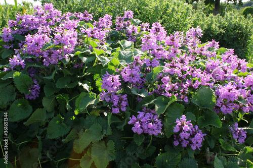 Photo Purple flowers of Abkhazian purgatory (Stachys abchasica)