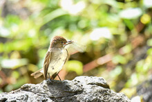 Eastern Phoebe With A Dragonfl...