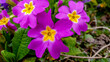 canvas print picture - Aubretia flowers in spring in Germany