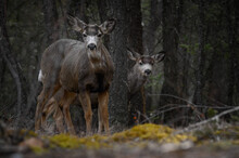 Two White-tailed Deer (Odocoil...