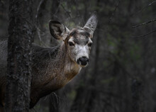 White-tailed Deer (Odocoileus Virginianus) In Spring Time, Canada
