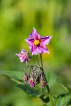 Beautiful Purple Nightshade Fl...
