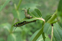 Two Monarch Caterpillars