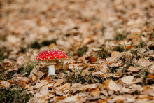 Fly Agaric Mushroom With Spotted White, Red Cap On The Forest Floor