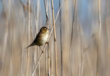 Sedge Warbler Displaying On A Reed Stem