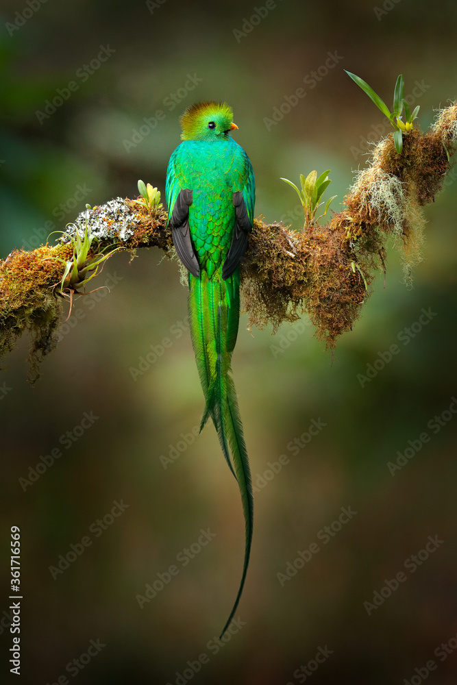 Fototapeta Quetzal, Pharomachrus mocinno, from  nature Costa Rica with pink flower forest. Magnificent sacred mystic green and red bird. Resplendent Quetzal hidden in forest. Wildlife scene from Costa Rica.