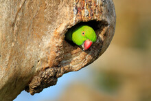 Parrot In Nest Hole. Rose-ring...