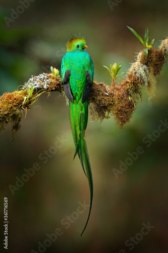 Quetzal, Pharomachrus mocinno, from  nature Costa Rica with pink flower forest. Magnificent sacred mystic green and red bird. Resplendent Quetzal hidden in forest. Wildlife scene from Costa Rica.