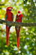 Red parrot pair love in dark green vegetation. Scarlet Macaw, Ara macao, in tropical forest, Brazil. Wildlife scene from nature. Two parrot couple in the green jungle habitat.