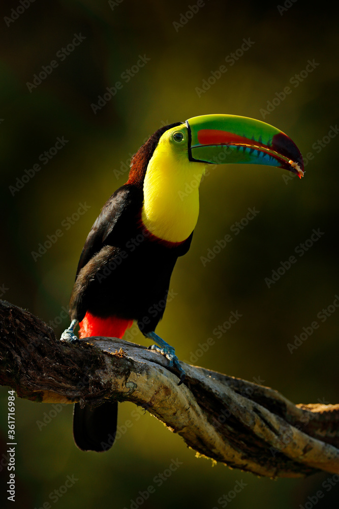 Keel-billed Toucan, Ramphastos sulfuratus, bird with big bill sitting on branch in the forest, Guatemala. Nature travel in central America. Beautiful bird in nature habitat.