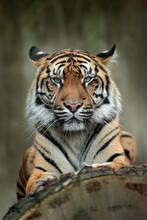 Sumatran Tiger, Panthera Tigris Sumatrae, Rare Tiger Subspecies That Inhabits The Indonesian Island Of Sumatra. Face Close-up Portrait Of Tiger From Indonesia.