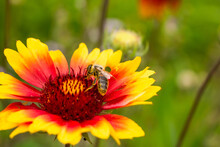 Collecting Nectar By A Bee. The Insect Is Covered With Yellow Pollen. The Plant Is Located On The Left. There Is A Place To Insert Text. Blurred Background