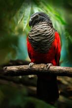 Pesquet Parrot, Psittrichas Fu...