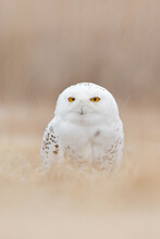 Snowy Owl Hidden In The Meadow, Bird With Yellow Eyes Sitting In Grass. Scene With Clear Foreground And Background, In The Nature Habitat, Canada. White Bird In The Field, Wildlife Scene From Nature.