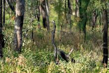 Bird Shaped Stick In Australian Bushland