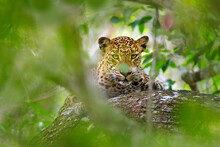 Leopard In Green Vegetation. H...