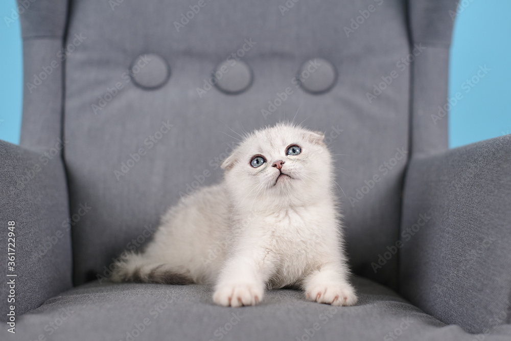 White fold Scottish breed kitten lies in a grey chair and looks forward, studio photography