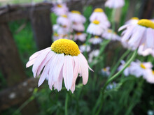 Large Pink Daisy With A Yellow Middle And Lowered Petals. Summer Flowers.