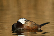 White Headed Duck On The Water.