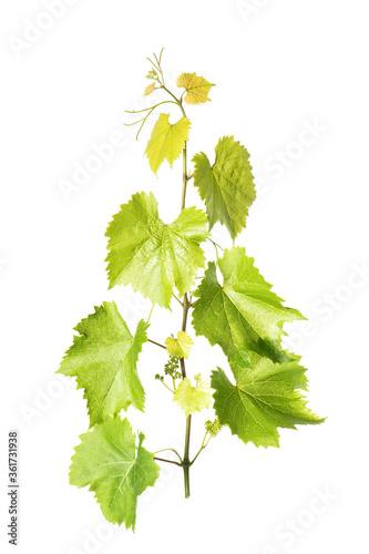 Grape vine leaves isolated white background Fototapete